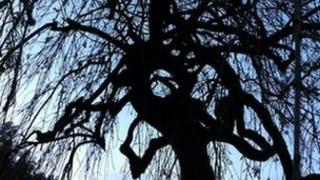 Weeping ash (Image: BBC)