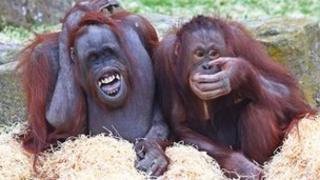 Orang-utans at Blackpool Zoo