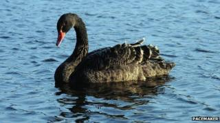 Female black swan