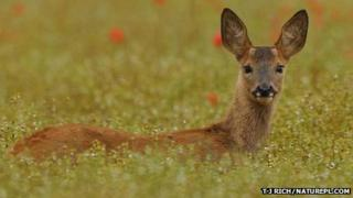 Roe deer (Image: TJ Rich/naturepl.com)