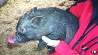 Rescued pot-bellied pig