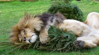 Zuri the lion playing with Christmas tree