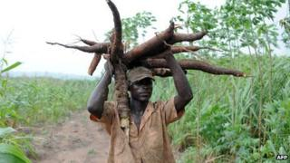 A farmer carries a bunch of cassava roots in Nigeria's Osun State on 26 August 2010