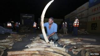 A worker arranges elephant tusks recovered from a container on transit, at the Kenyan port city of Mombasa 15 January 2013