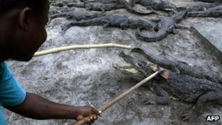 Employee at a crocodile farm in Ivory Coast move the reptiles during cleaning operations (1 July 2006)