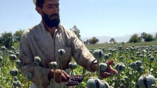 Opium crop in Afghanistan (April 2007)