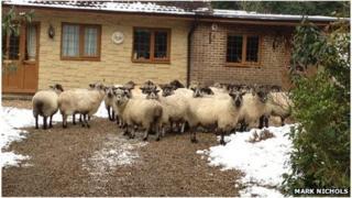 Sheep on driveway
