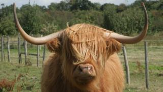 Clarence the bull