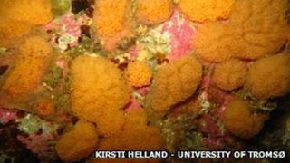 A species found in deep sea called Ascidiaceae, a Botryllus specie