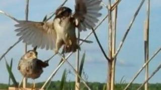 sparrows