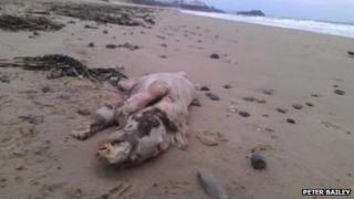 The animal's carcass found on South Beach, Tenby