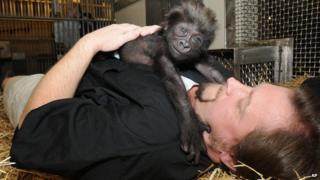 Baby gorilla with zookeeper