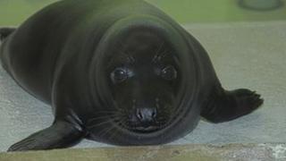 Liquorice the seal