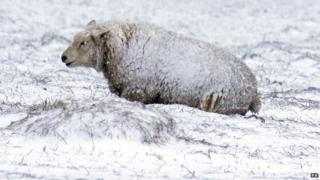 Sheep in snow in Northumberland