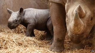 Eastern black rhinoceros and calf at Chester Zoo