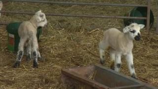 Lambs at Cocking Country Park