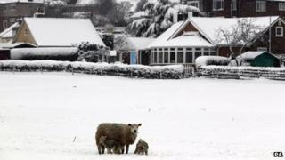 Two spring lambs shelter from the snow alongside their mother in a field in Northop, North Wales