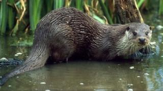 Otter (generic)