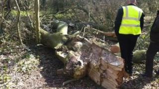 Fallen tree at Rotten Corner