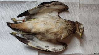 A dead stone curlew