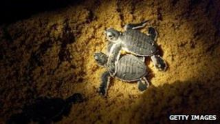 Leatherback turtle hatchlings make their way into the sea in Malaysia August 2004