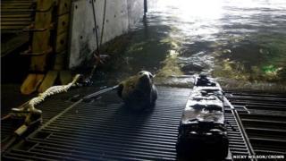 Seal on HMS Bulwark dock