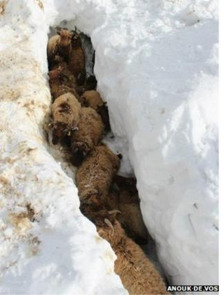 Sheep trapped in a gully