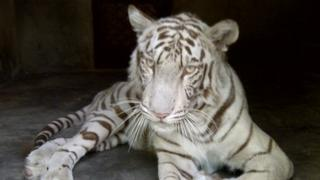 White tigress owned by Idrees Ahmed