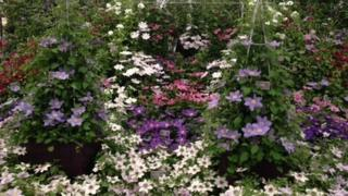 Raymond Evison Clematis exhibit at the Chelsea show