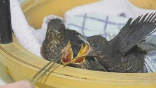 Four blackbird chicks