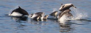 Bottlenose dolphins off the Isle of Ma coast