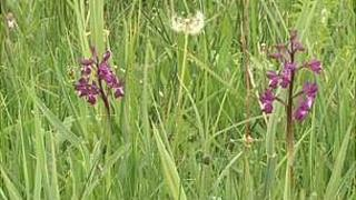 Jersey orchid in National Trust for Jersey field