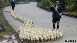 Man herding birds