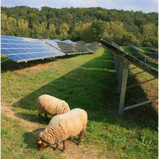 Sheep grazing around solar panels
