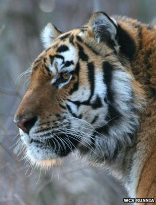 Amur tiger (Image: WCS Russia)