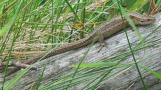 viviparous lizard