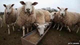 Sheep in Brecon Beacons