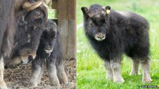 Musk ox Belle and mother