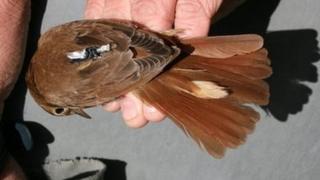 Tagged nightingale