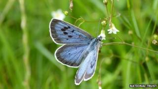 Large Blue at Collard Hill, Somerset