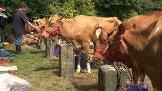 Cows at 100th Royal Guernsey Agricultural and Horticultural show in Saumarez Park