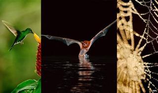 Hummingbird, bat, spider web (c) Science Photo Library