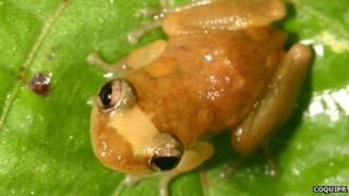 Eleutherodactylus juanariveroi frog