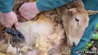 Shearing sheep generic