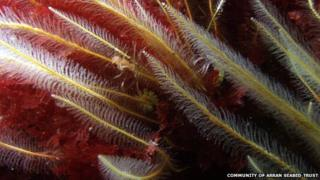 """Hyroid Nemertesia antennina """"Sea beard"""""""
