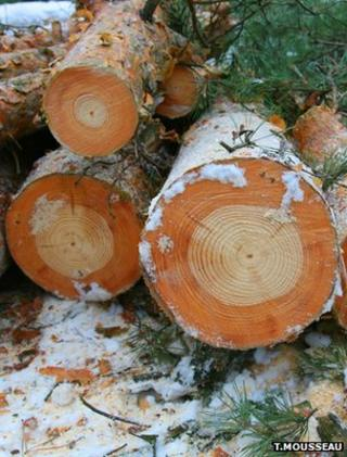 Scots pine logs in Chernobyl exclusion zone (Image courtesy of Tim Mousseau)
