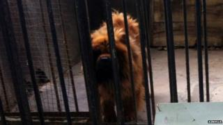 A Tibetan Mastiff inside a zoo cage with a visitor sign saying African Lion in Chinese