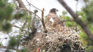 White-tailed eagle chick