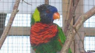 Green naped lorikeet