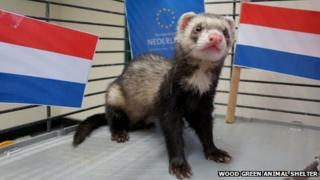 Vincent the Dutch ferret